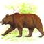 Они ведут сравнительно оседлый... у всех бурых медведей тело мощное, с...